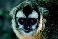 foto:  c. valeggia/owl monkey project