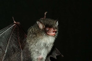 Die Rhrennasen-Teufels-Fledermaus (Murina beelzebub) lebt in Vietnam.