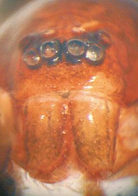 Eher eine pikante Schönheit: Otacilia lorioti.