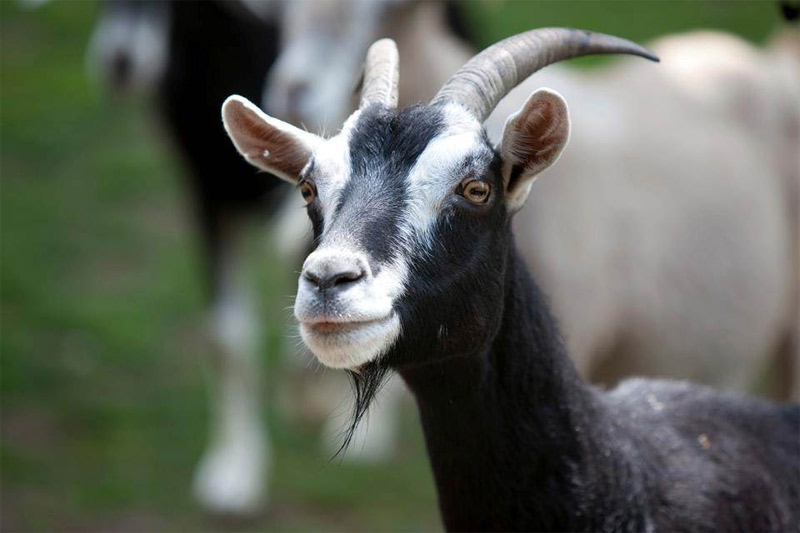 Farm Goat Facts For Kids