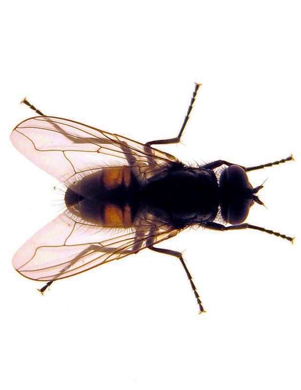 wie lange lebt eine fliege wie hoch kann eine fliege. Black Bedroom Furniture Sets. Home Design Ideas