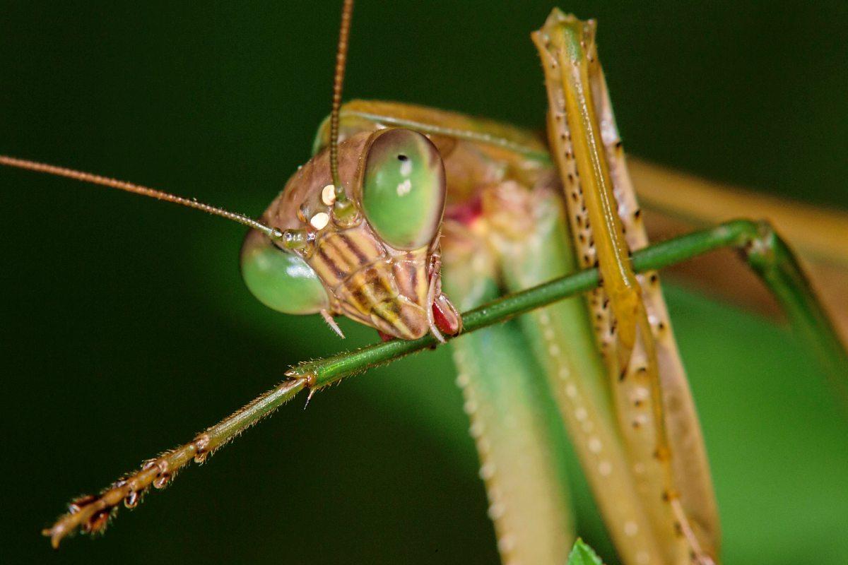 insekt-des-jahres-gottesanbeterin-gar-nicht-fromme-m-nnerverschlingerin