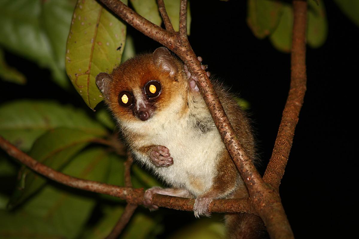 Die Seltsamkeiten der Lemuren werden ein Stück verständlicher