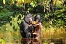 foto: zanna clay/lui kotale bonobo project