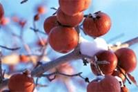foto: www.appleicewine.com