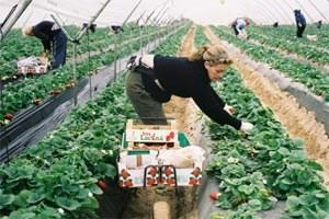 Spanische Erdbeeren mitten im Winter sind längst nichts Exotisches mehr in den europäischen Supermärkten. Die Plantagenwirtschaft nimmt allerdings keine Rücksicht auf die Natur.