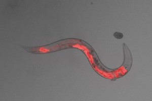 Wenn beim Menschen die Würmer, wie dass zu verstehen
