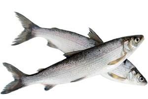 """Reinanken von """"Wilder Fisch"""", ca. 300 g, EURO 2,99 / 100 g bei Merkur, nur Fr-Sa an der Frischfisch-Theke. www.merkur.co.at"""