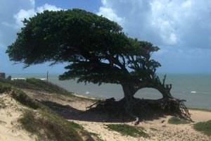Flexibilität erleichtert das Leben in Brasilien - auch das dieses Baumes der Liebe (Árvore do amor) in Touros, der sich an die Gegebenheiten des Windes angepasst hat.