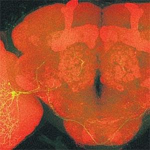 Das Gehirn einer Fliege (Drosophila), rot gefärbt. Real wäre das Gehirn so groß wie ein Mohnkörnchen. In Grün sind Nervenzellen markiert, die das Sehzentrum mit dem inneren Gehirn verbinden.