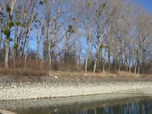 Für das Pilotprojekt bei Bad Deutsch-Altenburg soll dieses Ufer umgebaut werden. Dafür müssen rund 60 Hybridpappeln gefällt werden.