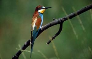 Der Bienenfresser zählt wie der Eisvogel zu den seltensten und schillerndsten Arten im Nationalpark. Beide Vogelgruppen sollen durch die Uferrückbauten profitieren.
