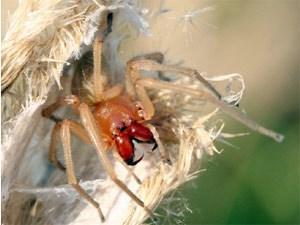Der Dornfinger (Cheiracanthium punctorium) ist die giftigste Spinne, die auch in Österreich vorkommt.