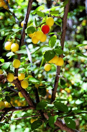 Usbekistan verfügt über eine erstaunliche Biodiversität, bei rund 305 Sonnentagen im Jahr gedeihen Beeren, Früchte und Nüsse prächtig.