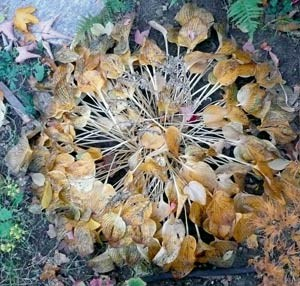 Selbst eine sterbende Hosta gehört mit zum Schönsten, was ein Garten farblich bieten kann.