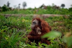 Orang-Utan-Mutter und Kind, wie die Tierschützer sie fanden - eine Gruppe Jugendlicher hatte sie umzingelt.