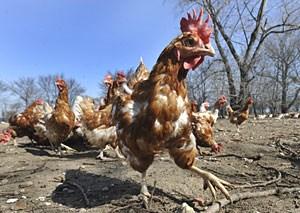 Die im Testmodell eingesetzten Nanopartikel aus Polystyrol führten bei Hühnern zu einer Veränderung der Eisen-Aufnahme.
