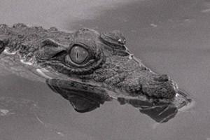 """Ein Krokodil namens Dandy kennt nicht die Last der Vergangenheit: Miguel Gomes' Wettbewerbsbeitrag """"Tabu"""" spielt souverän mit den Mitteln des Kinos und der (Kolonial-)Geschichte Portugals."""