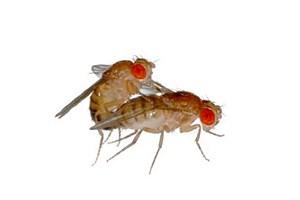Kommt es nicht zum angestrebten Tête-à-tête, dann ergeben sich Drosophila-Männchen dem Alkohol.