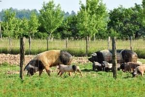 Die überwältigende Mehrheit der in Österreich gezüchteten Schweine sieht auf dem Weg zum Schlachthof zum ersten Mal Tageslicht.