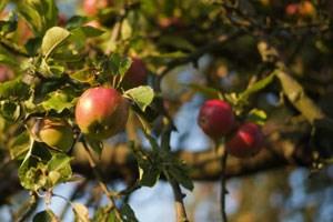 Kaffee und Bananen gedeihen in unseren Breiten ohnehin nicht. Bei Äpfeln stellt sich aber sehr wohl die Frage: Sollen sie aus dem fairen Handel kommen - oder doch aus heimischer Produktion?