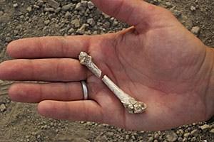 Ein Knochen der vermutlich neuen Vormenschenart in der Hand einer Vertreterin von Homo sapiens. Eingepasst in einen Gorillafuß (unten) zeigen sich erstaunliche Übereinstimmungen.
