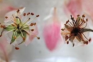 Gesunde (li.) und durch den Feuerbrand geschädigte Apfelblüten.