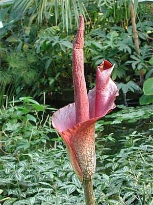 Die Teufelszunge (Amorphophallus konjac) kommt im südostasiatischen Raum vor. Bestäubt wird sie von Blatthornkäfern, deren Geruch sie nachahmt.