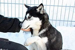 Alaskan Husky Daisy setzt hingegen auf Charme und hat es damit bis zur Leithündin gebracht.