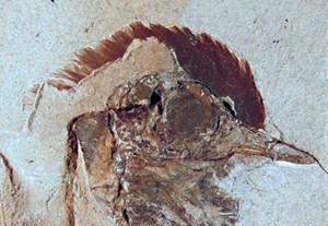 --> Zur AnsichtssacheVogelkopf und Kofferfisch: Fossile Schätze aus DänemarkVom allerersten Danekrae bis zu Vogelfedern mit Farberhaltung: Funde der Autoren mit Danekrae-Status