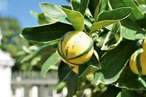 Manche der seltenen Zitrusbäume sind so alt, dass auch Kaiserin Sisi sich ohne weiteres am Duft ihrer Blüten und dem Fleisch ihrer Früchte gütlich getan haben könnte. Heute sind sie Spitzenköchen wie Heinz Reitbauer vorbehalten.