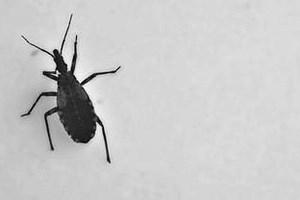 Chagas kommt in den meisten lateinamerikanischen Ländern vor. Die Infektionskrankheit wird durch einen Parasiten verursacht und durch eine blutsaugende Raubwanze (kissing bug, im Bild) übertragen, die in ländlichen Gegenden und Stadtrandgebieten, wo Menschen in Stroh- und Lehmhütten leben, häufig vorkommt. Die Übertragung geschieht auch von Mutter zu Kind, über Bluttransfusionen, Organtransplantationen oder kontaminiertes Essen.