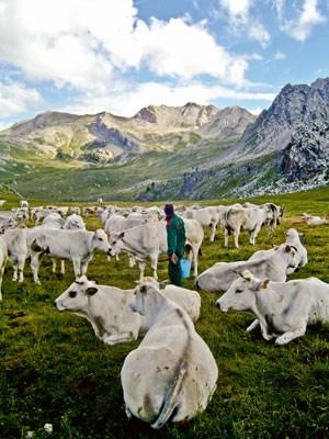 """Kühe der selten gewordenen """"Razza piemontese"""" auf der Alm."""