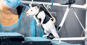 """Eine Ratte im Dienste des medizinischen Fort-Schritts: Forschern gelang es, """"schlafende"""" Nerven im Rückenmark des gelähmten Tieres mittels Stimulation zu """"wecken"""" - und den Nager wieder zum Gehen zu bringen."""