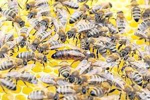 Auch französische Forscher belegten: Saatgutbeize kann Bienen so verwirren, dass sie nicht mehr zu ihrem Volk mit der Königin zurückfinden.