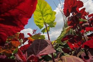 Zum Beispiel die Gartenmelde - eine der ältesten Kulturpflanzen - die man gemeinhin kaum noch kennt.