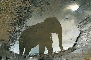 Elefanten können sich im Spiegel selbst erkennen und besitzen daher eine Form von Ich-Bewusstsein.