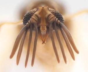 Kopf eines Männchens der neuentdeckten Fächerflügler-Art Mengenilla moldrzyki.
