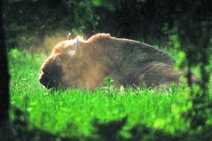 Größtes lebendes Landsäugetier: ein Wisent im Urwald von Bialowieza, einem der polnischen Nationalparks.