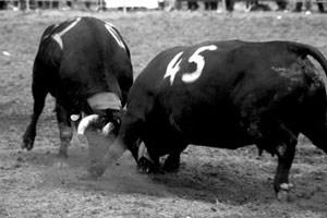 """Schweizer Kühe können mehr als Milch: Die Doku """"Kampf der Königinnen"""" führt es vor."""