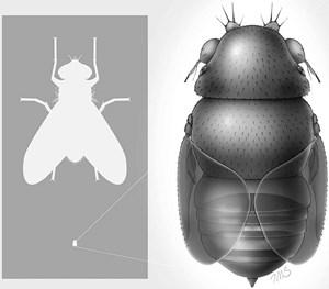 Winzig, aber vermutlich extrem fies: die kleinste Fliege der Welt (re.), die in Thailand zu Hause ist, im Größenvergleich mit einer Stubenfliege (li.).