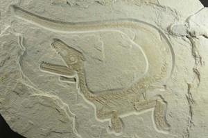 Viele Dinosaurier waren wohl flauschiger als angenommen - und hatten zumindest in jungen Jahren ein Federkleid.