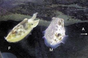 Halbseitige Täuschung: Das Männchen (M) zeigt sich dem Weibchen (F) im Balzkostüm, etwaigen Männchen (A) hingegen präsentiert es sich als Weibchen.