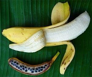 Oben die herkömmliche Supermarktbanane, die heutige Hauptsorte Cavendish; unten die  Variante DH Pahang der Wildsorte Musa acuminata, die gegen Schädlinge noch weitgehend resistent ist.
