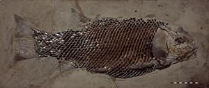 Ein weiterer typischer Vertreter der Panzerfische: Artgenossen dieses gut erhaltenen Exemplars von Lepidotes gigas aus dem Paläontologischen Museum München bevölkerte die Flachmeere des unteren Jura.
