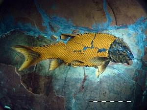 Ein außergewöhnlich gut erhaltenes Exemplar des kürzlich beschriebenen Art Macrosemimimus fegerti, das derzeit im Jura Museum Eichstätt zu sehen ist. Dieser gepanzerte Fisch lebte zur Zeit des oberen Jura in einem tropischen Archipel in der Gegend der heutigen südlichen Frankenalb in Süddeutschland. Das Exemplar wurde unter ultraviolettem Licht fotografiert, unter dem die Schmelzschuppen gelb leuchten.