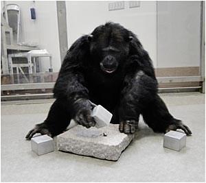 Im Experiment zeigten die Schimpansen ein beeindruckendes Urteilsvermögen: Mit dem schwersten Würfel ließen sich die Nüsse am leichtesten knacken.
