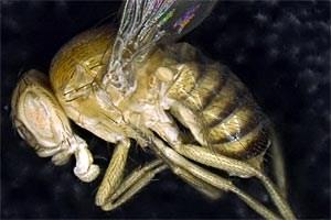 ... und die neu kreierte Art Drosophila synthetica.