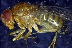 Die natürliche Fruchtfliege (Drosophila melanogaster) ...
