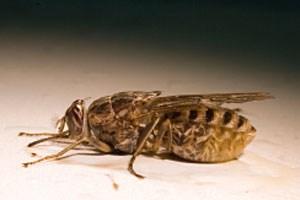 Die Tsetse-Fliege überträgt die krank machenden Parasiten per Biss.